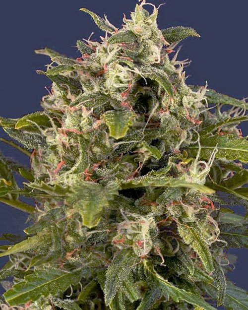 Pineapple express seeds with worldwide shipping